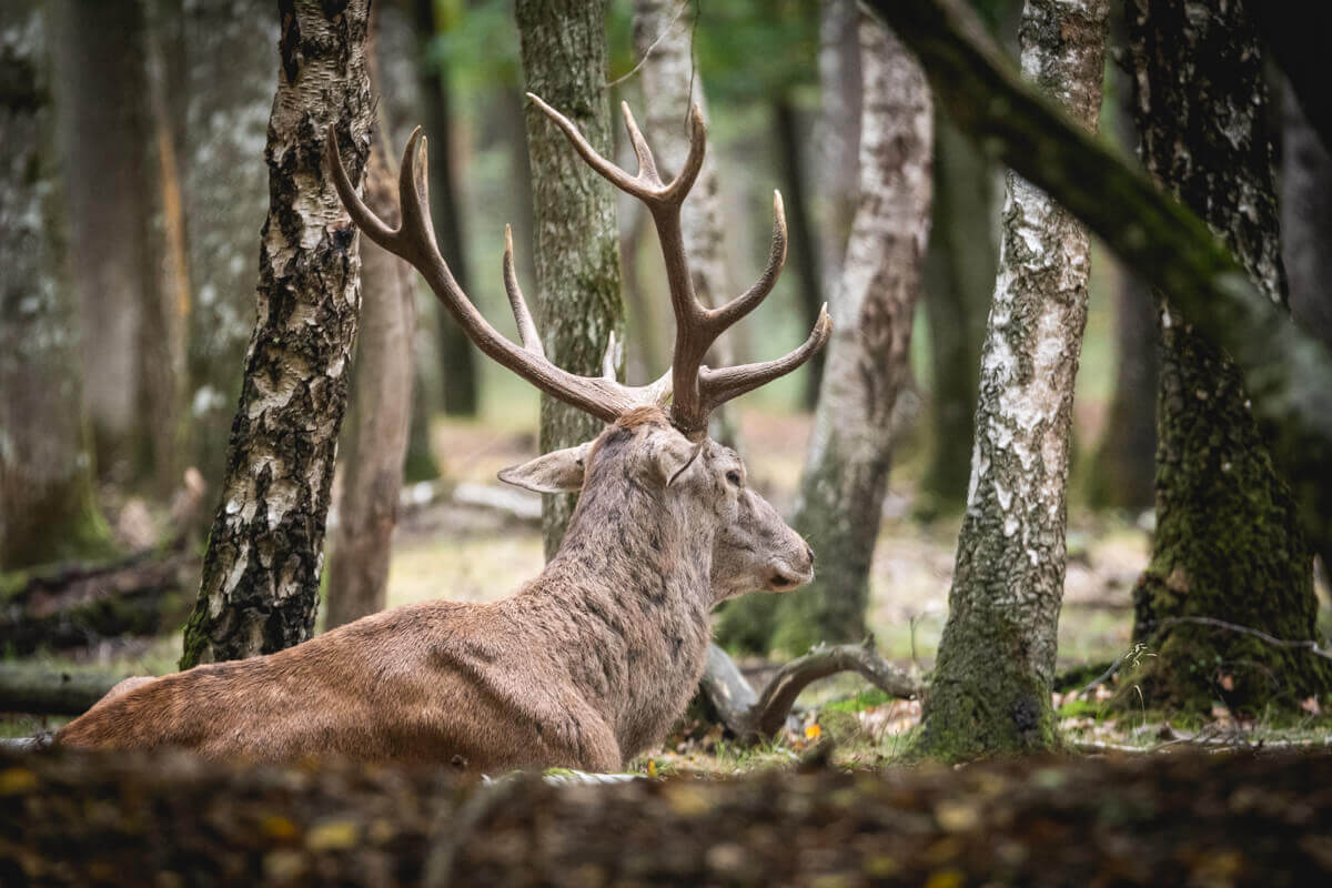 Brame du Cerf en Foret de Rambouillet automne Wild Spot